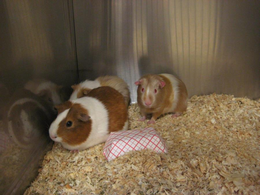 1 000 Rabbits Guinea Pigs Mice Rescued From Wayne County Pet Store Fox8 Com