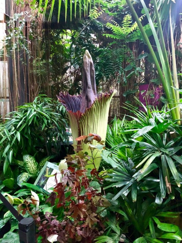 Watch Live Corpse Flower Blooms At Cleveland Metroparks Zoo Fox8 Com