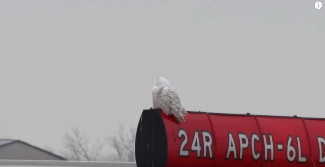 Snowy owl- courtesy:Marty Calabrese