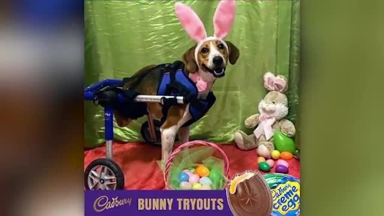 2-legged Ohio dog named Lt. Dan is named next Cadbury Bunny