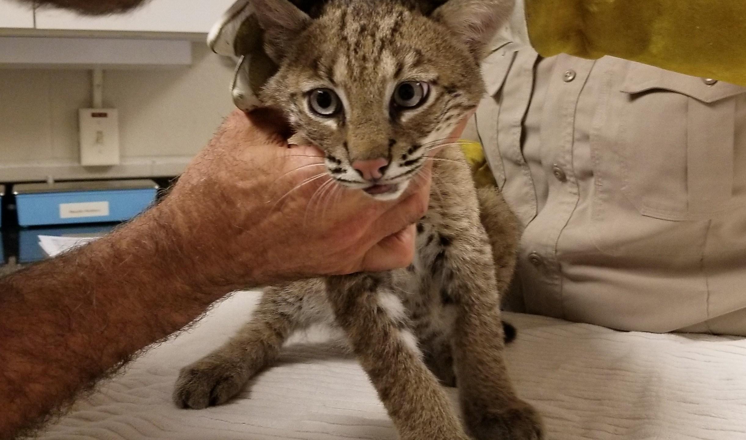 Bobcat kitten checkup