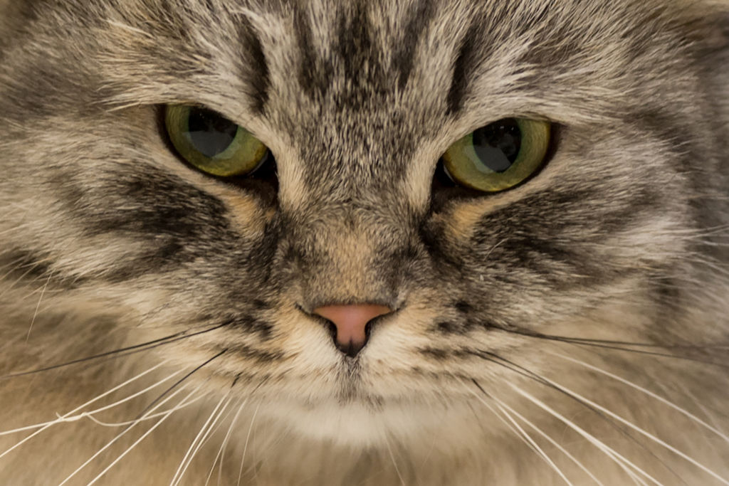 Could Cats Be the Key to a Coronavirus Vaccine?