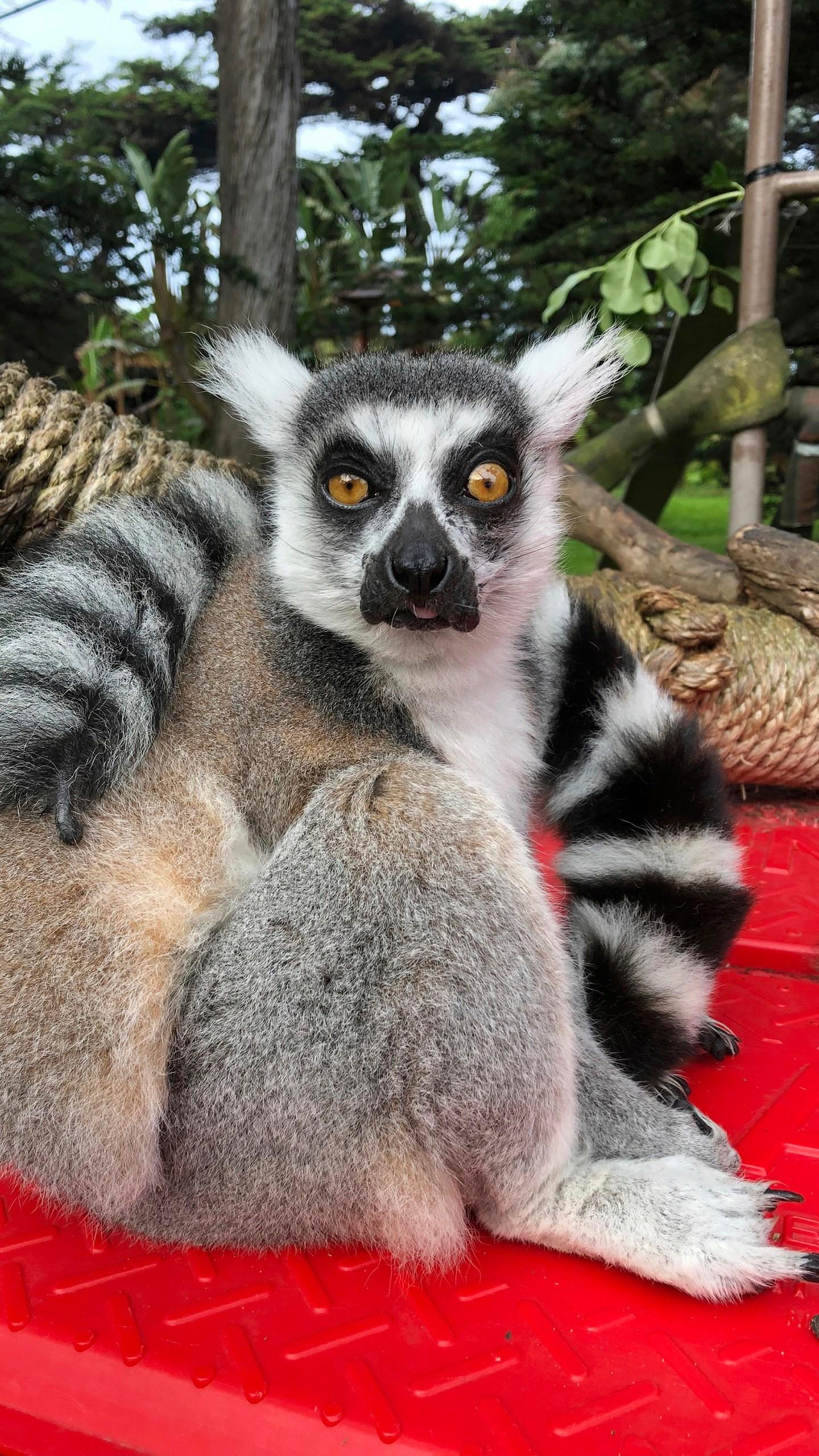 Sf Zoo Christmas Lights 2020 Police: Endangered lemur stolen in break in at San Francisco Zoo