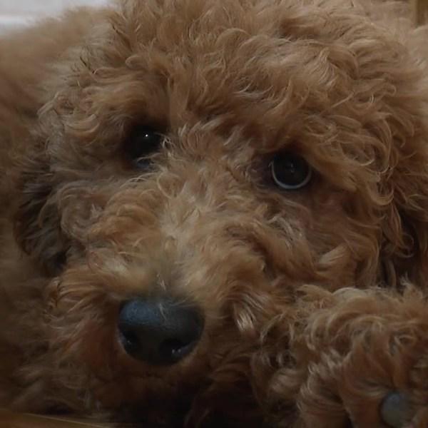 Stella, service dog in training, Wadsworth
