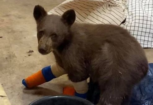Baby bear with bandages on paws