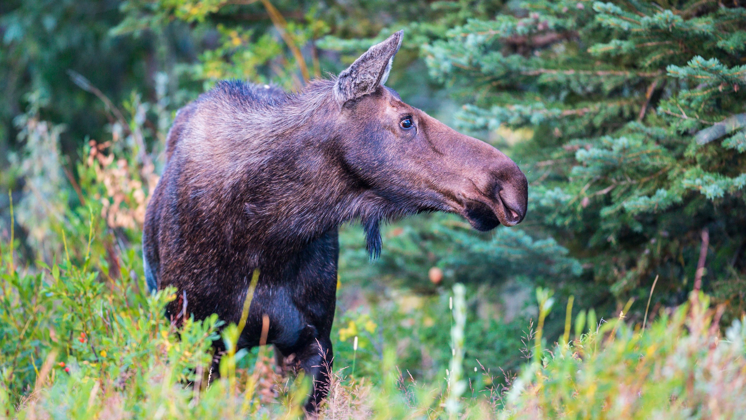 A cow moose stands in the willows
