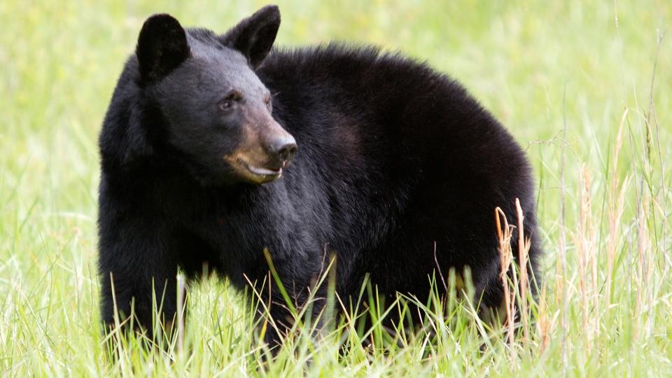 Black bear generic