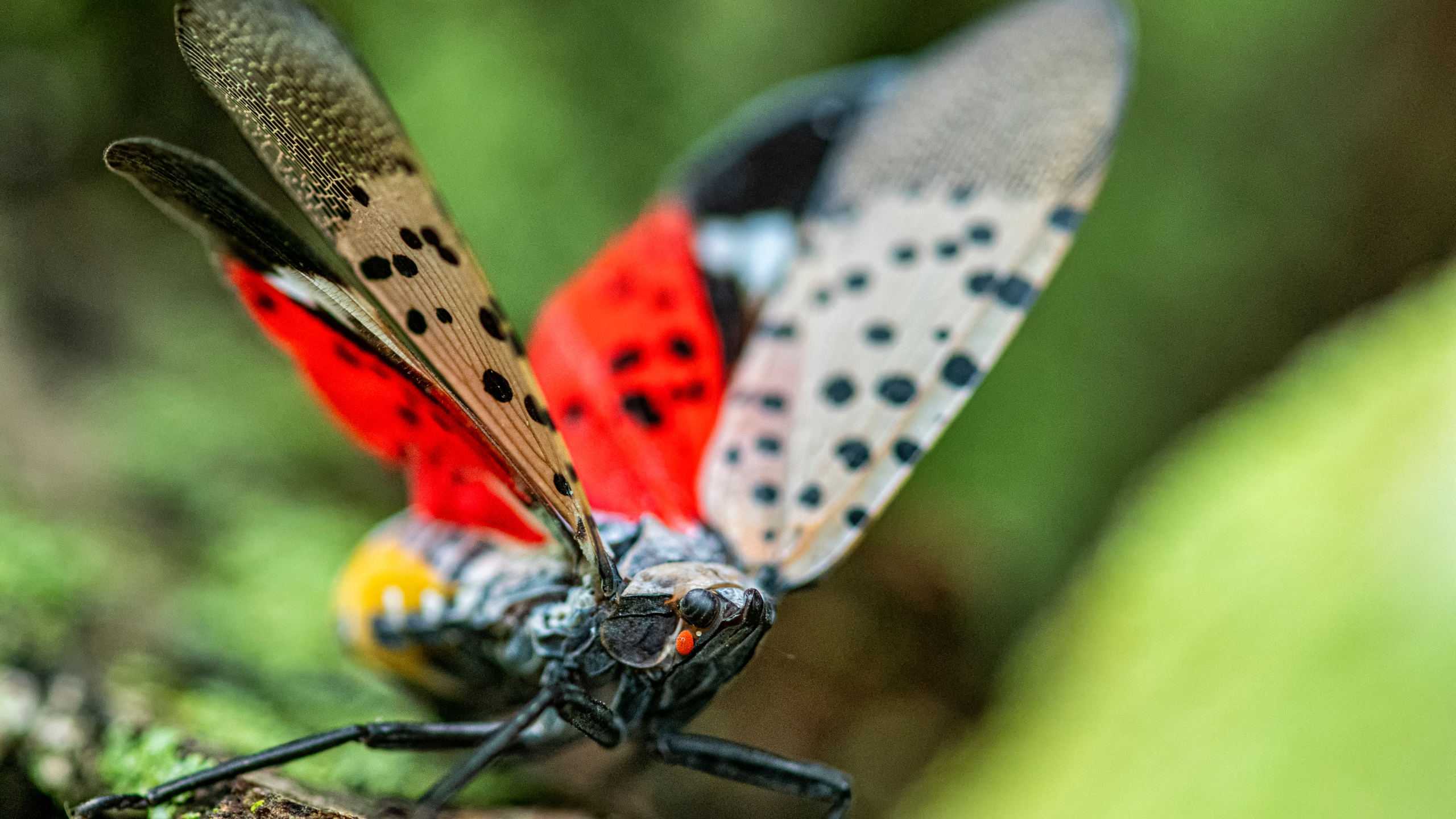 A close-up of a Spotted Lanternfly with its wing spread which shows the spots and the red color of its hind wings. The Spotted Lanternfly is an invasive insect from parts of Asia, that has made it into the Mid Atlantic area of the United States.